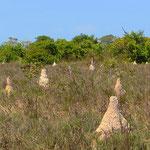Termiten als Baumeister.
