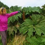 Die Blätter des stacheligen Mammutblatts sind riesig. Sie können bis 2 m Durchmesser erreichen.