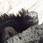 Galapagos-Meerechse