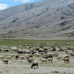 . . . und grosse Schaf- und Ziegenherden auf über 4000 m ü.M.