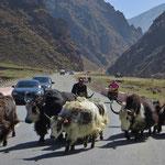 Jacks, die Kühe der Tibeter, werden in tiefere Lagen getrieben.