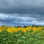 Jetzt, im Juli, leuchten auf weiten Feldern die Sonnenblumen. Da ist uns der dunkle Himmel egal.