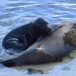 Galapagos-Seelöwin säugt ihr Junges.