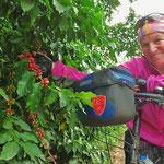 In der Region wird neben Tee auch Kaffee angebaut.