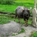 Wasserbüffel lassen sich prima an Grabsteinen festbinden.