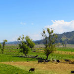 Auf der Hochebene um Bogota sehen wir oft Milchwirtschaftsbetriebe.