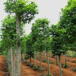 Fahren, wo der Pfeffer wächst. Die Kletterpflanze wächst an den Bäumen empor.