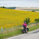weite Sonnenblumenfelder in Tschechien