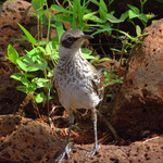 Galapagos-Spottrossel
