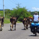 Radfahrer treffen wir keine, dafür jede Menge Rindvieh.