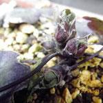 雪割草の芽が・・・