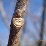 ニワウルシ またはシンジュの葉痕  好き透った寒空に大きく歌声が聞こえそう