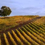 Gavorrano (Gr): viti in autunno
