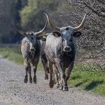 Padule di Scarlino: mucche maremmane