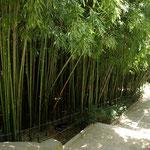 Никитский ботанический сад. Бамбуковая роща