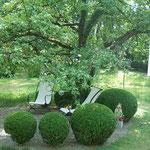 Buchskugeln unter Apfelbaum