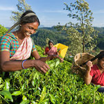 Teeernte - Nilgiriberge - Indien