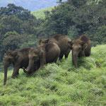 Elefanten im Periyar-Nationapark - Indien