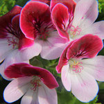 Pelargonie, Angle Eyes