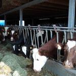 Der Laufstall bietet 28 Milchkühen Platz