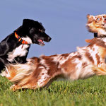 Zwei Powerhunde (ab hier alle Bilder von Devil-Angel-Aussies)