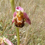 Ophrys abeille