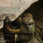 Galápagos-Riesenschildkröten (Chelonoidis nigra) leben auf größeren Inseln mit üppiger Vegetation in regenfeuchten, höheren Regionen