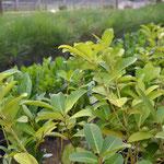 Plantas jovenes de yerba mate