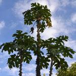 Árbol de la papayuela