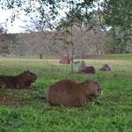 Carpinchos descansando en las zonas de reserva natural en la estancia
