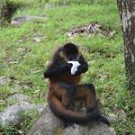 El mono usando lo que se robó