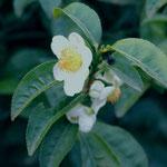 Flor de té