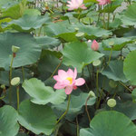 板倉方面 蓮の花