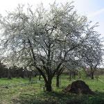 Wildkräuter Garten März 2017