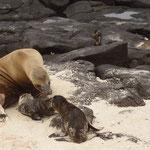 Junge Seelöwen-Familie mit jungem, 5 Minuten altem Neugeborenen im Nationalpark Galápagos