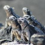 Im Galápagos Nationalpark: Meeresechsen wärmen sich in der Sonne