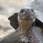 Landschildkröte - Galápagos Nationalpark