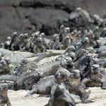 Meeresechsen beim Aufwärmen im Galápagos Nationalpark
