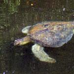 Meeres-Schildkröten auf den galápagos Inseln