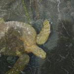 Meeres-Schildkröte werden im Galápagos Nationalpark geschützt