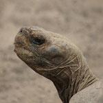 Land-Schildkröte - Symbold des Nationalparks Galápagos