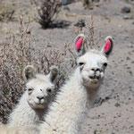 Neugierige Lamas in Bolivien