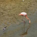 Flamingo und Austernfischer - Galápagos Nationalpark