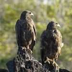 Nationalpark Galápagos Inseln: Bussarde