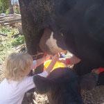 Kühe melken auf einem Bauernhof