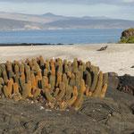 Lavakaktus (Fernandina), in Hintergurnd die Insel Isabela