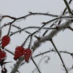 Hagebutten im Winter