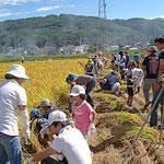 みんなが植えた稲がみごとに実りました