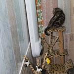 Чёрный серебристый, вислоухий кот