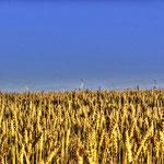 Ein Weizenfeld bei Söllingen (Nds)